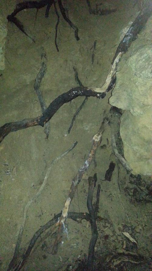 Oregon Caves roots