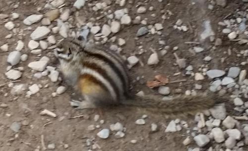 Least Squirrel