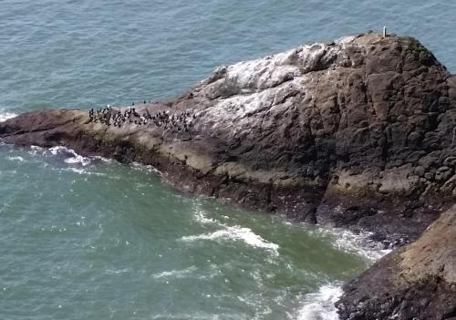 Cape Disappointment cormorants 1