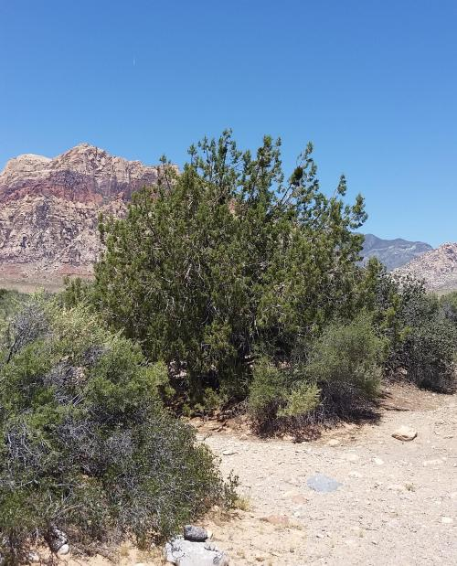 NV Red Rock Canyon 'tree'