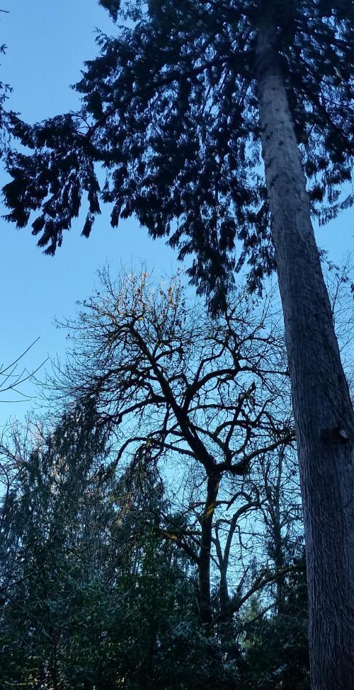 OR Hillsboro backyard 190317 tree 2