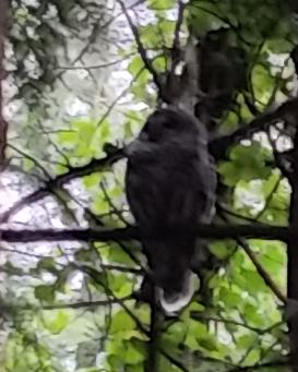 OR Hillsboro Owl in backyard (4)