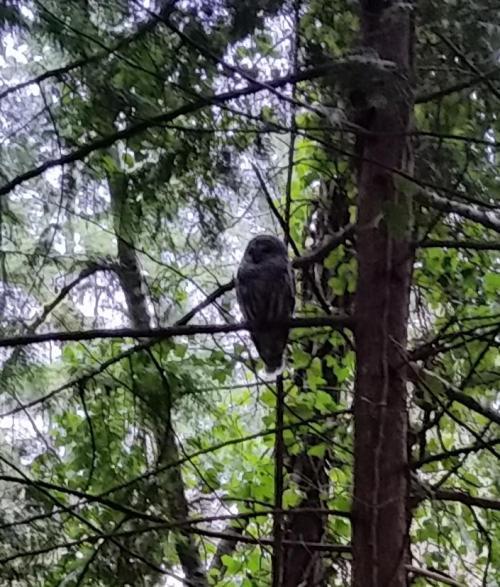OR Hillsboro Owl in backyard (6)