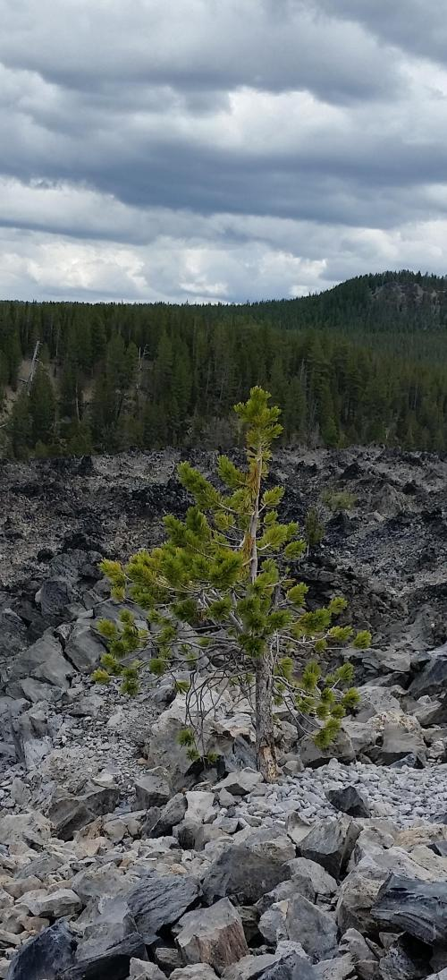 OR Newberry Big Obsidian Flow large tree 190625