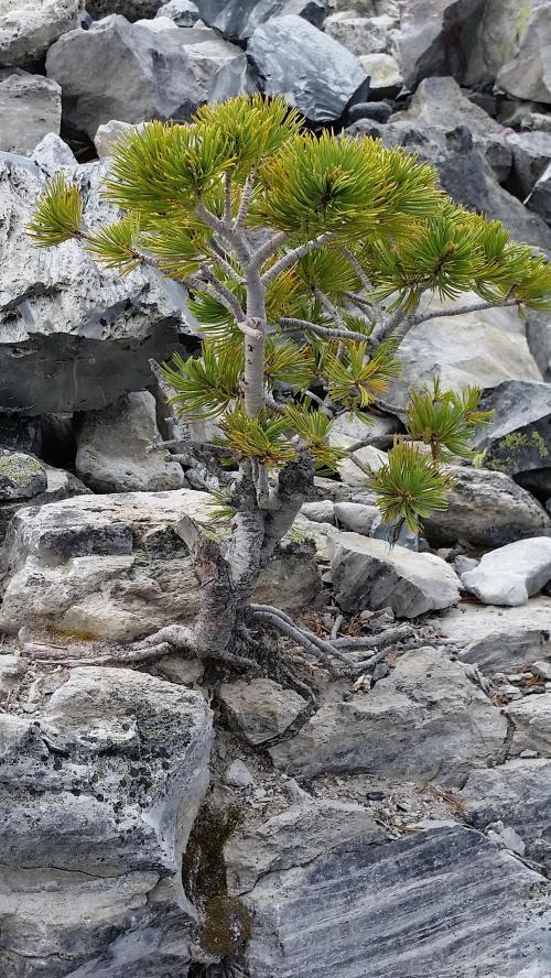OR Newberry Big Obsidian Flow small tree 190625