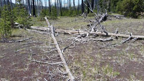 OR Santiam Pass decaying trees 2 190624